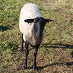 Племенная овца романовской породы