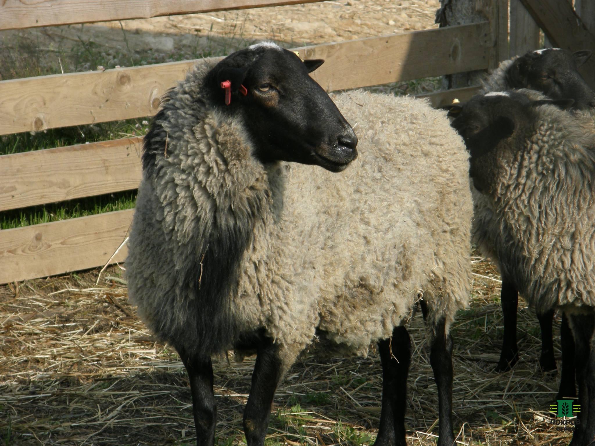 Овцы выращены в экологически-чистом регионе республики башкортостан, а именно в д.арларово, ишимбайского района.
