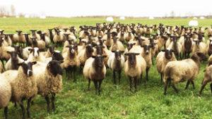 Поголовье овец романовской породы